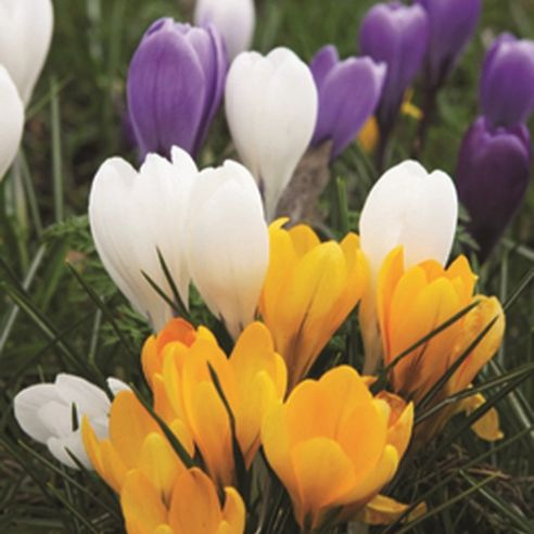 Crocus Large flowered Mix -  Bulb Size 7/8 cm - 25 Bulbs